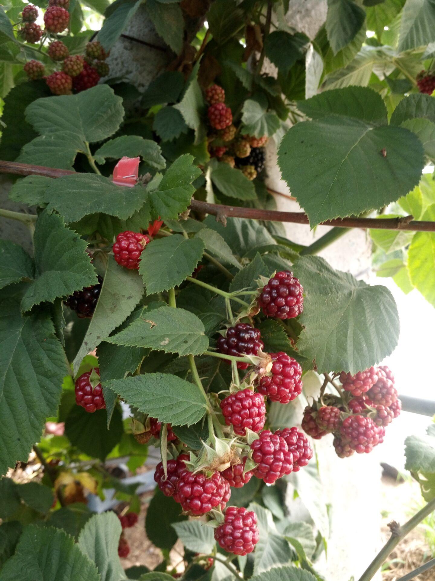 重庆树莓苗种植基地