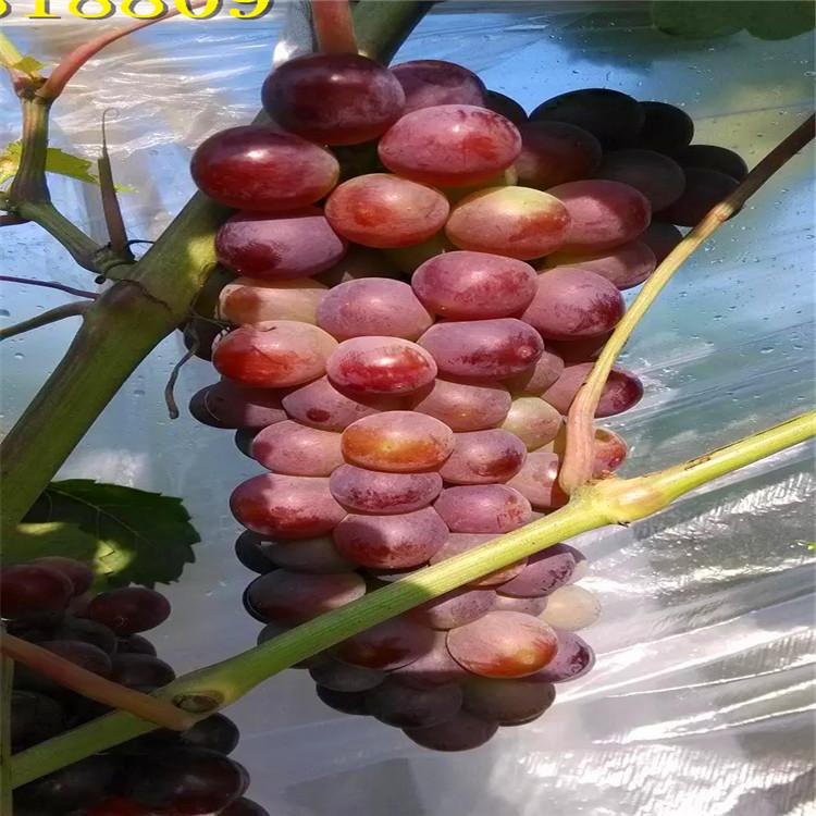 德州夏黑葡萄苗