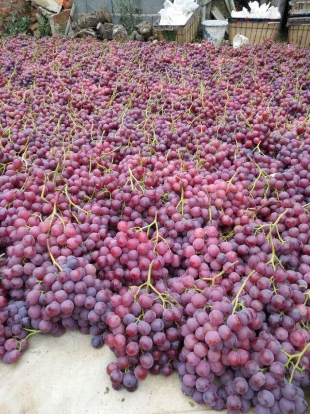 潍坊维多利亚葡萄树