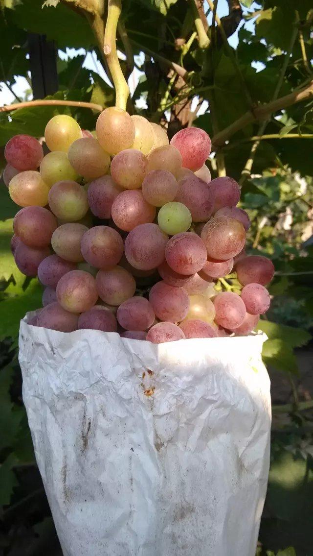 玉林维多利亚葡萄树