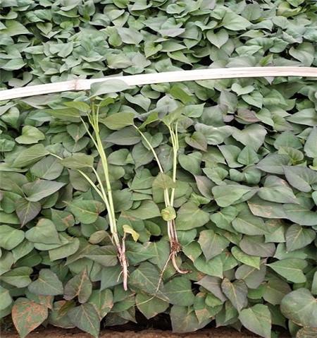 河北西瓜红红薯苗