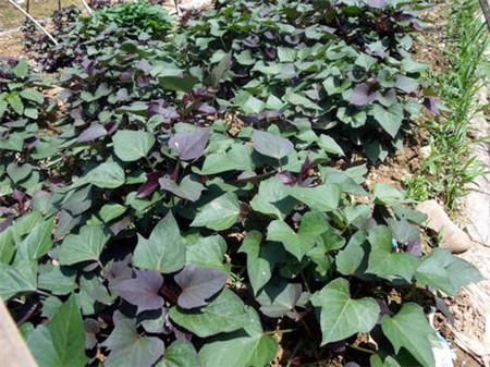 优质紫薯苗 紫薯苗批发