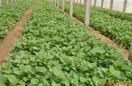 保定济黑1号红薯苗产量